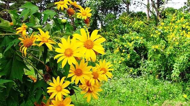 Cung đường săn hoa Dã Quỳ đẹp nhất